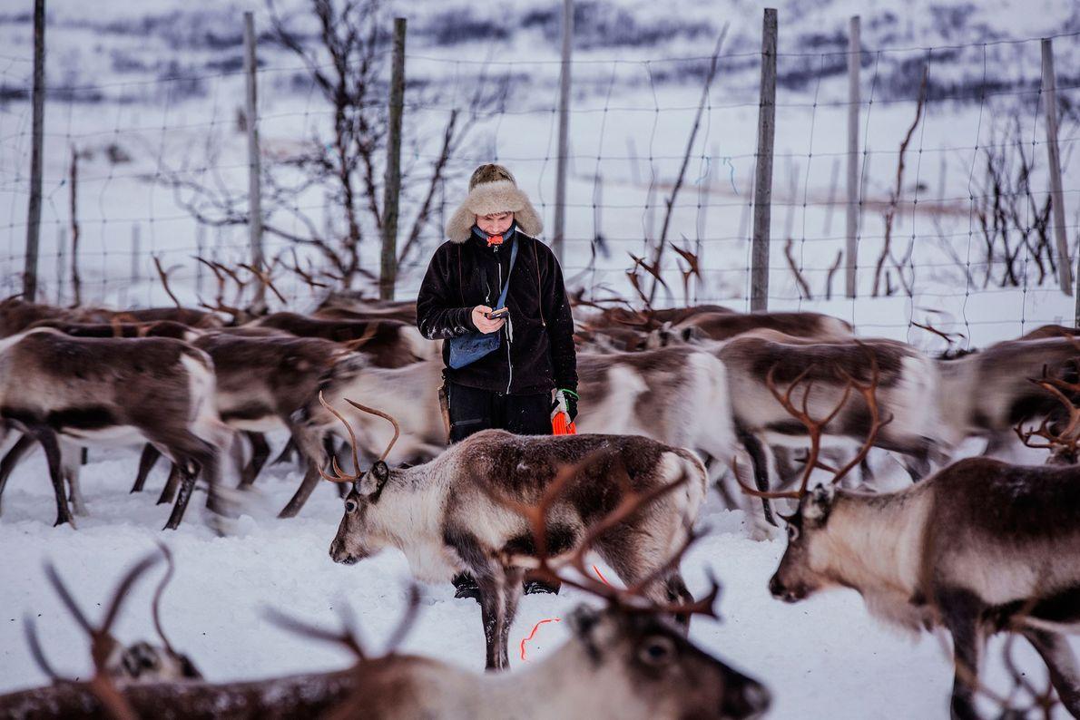 Imagen del pastoreo de renos