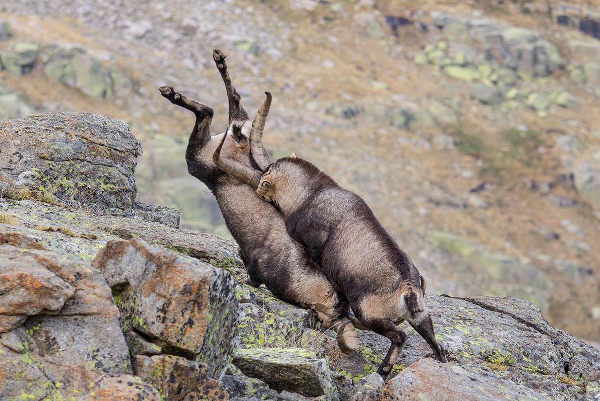 Mountain goats collide in Sierra de Gredos, Spain.