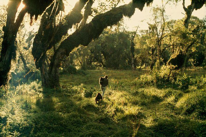 Fossey se adentra en el bosque