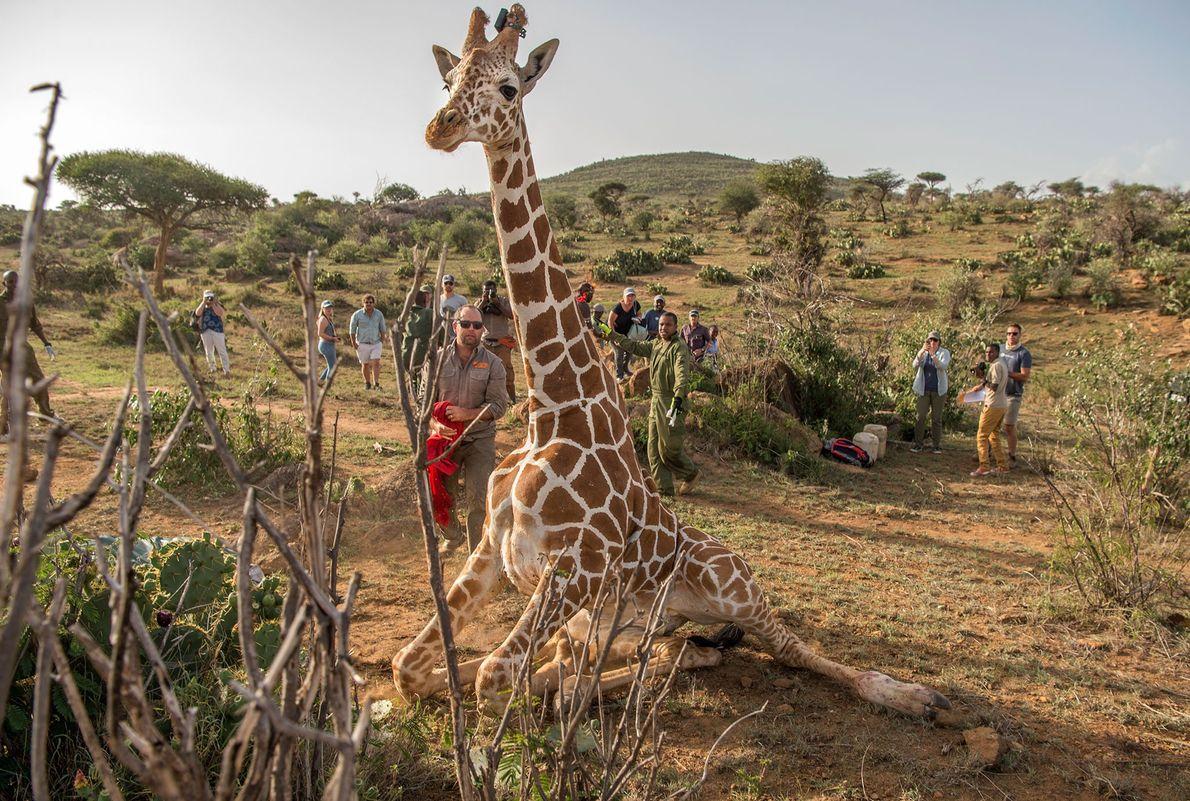 El número de ejemplares de jirafas fluctúa