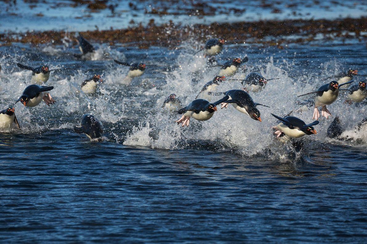 Pingüinos saltarrocas