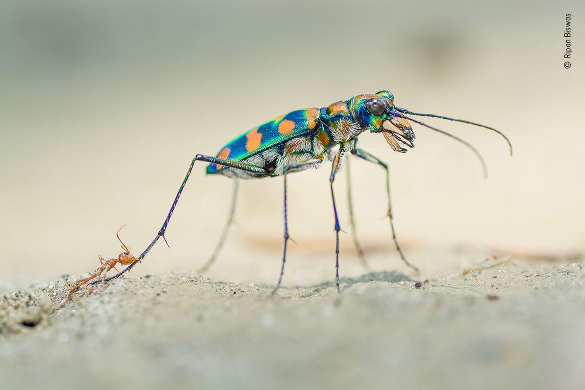 Un escarabajo Calochroa octonotata y unas hormigas tejedoras