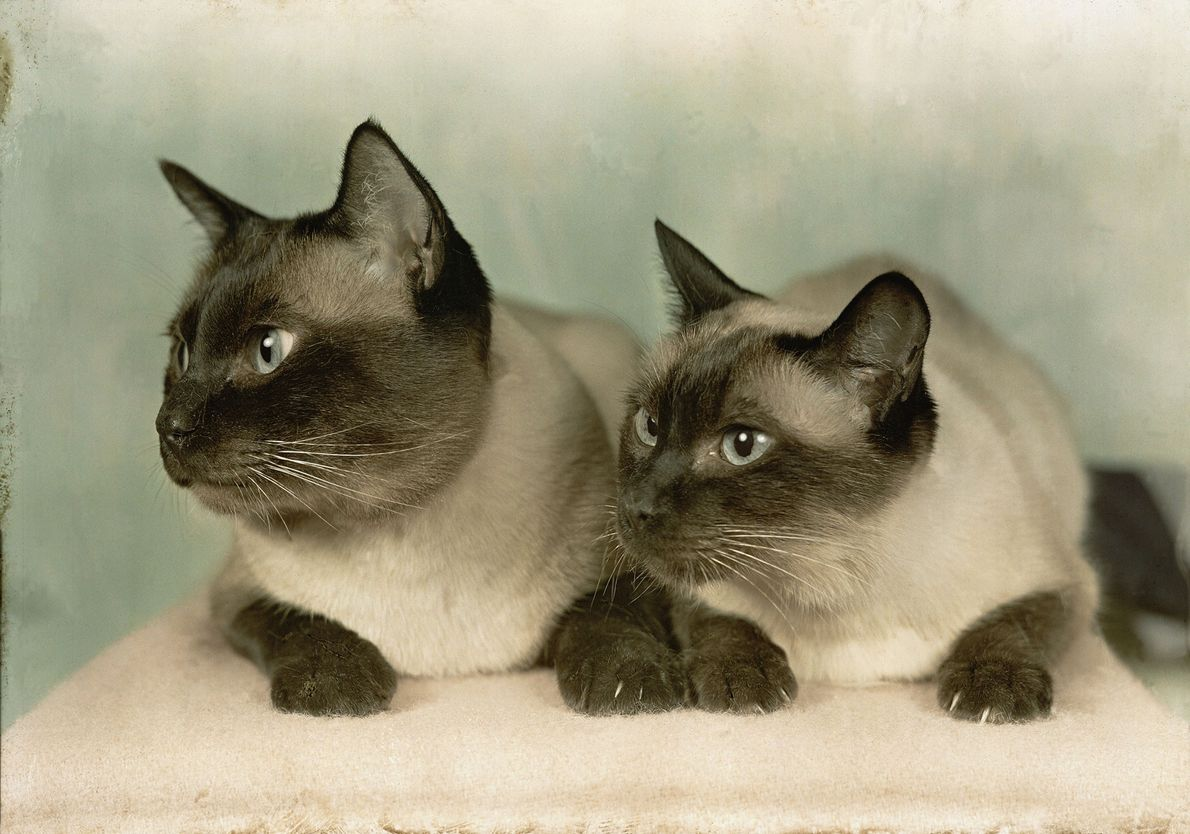 Un par de gatos siameses