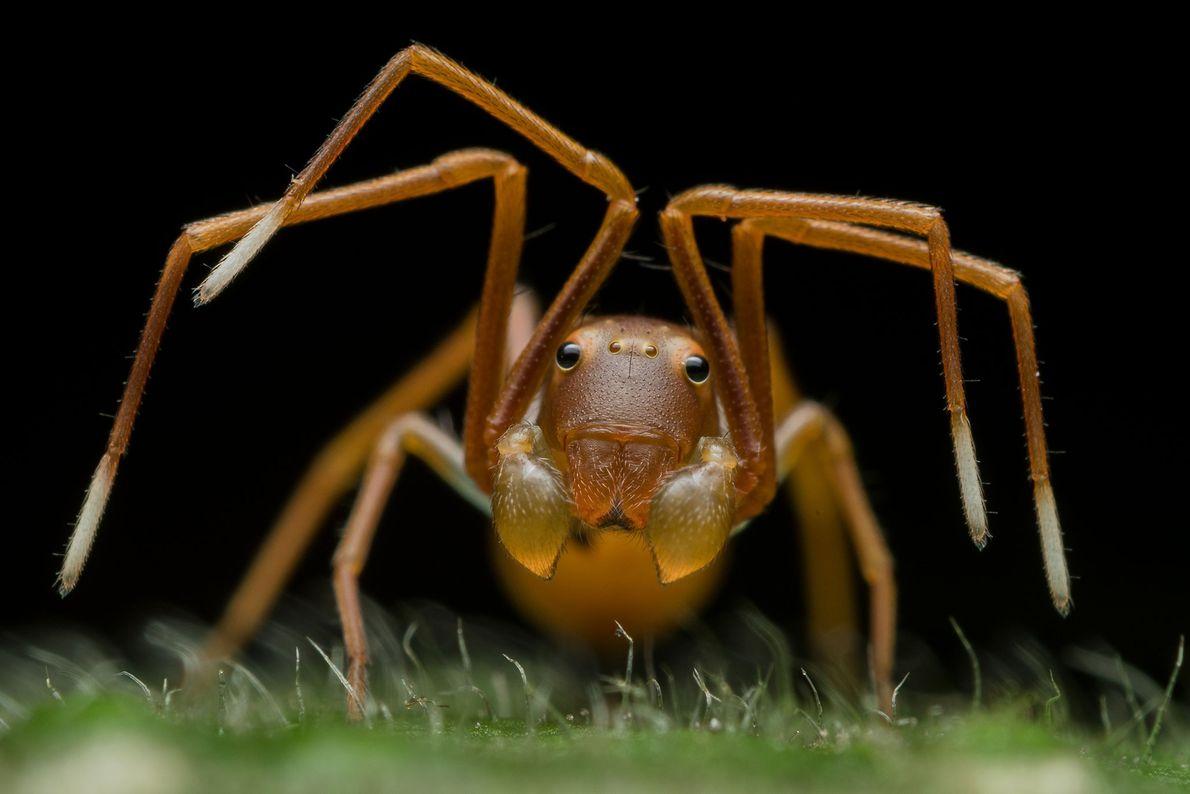 Araña cangrejo, Ripan Biswas
