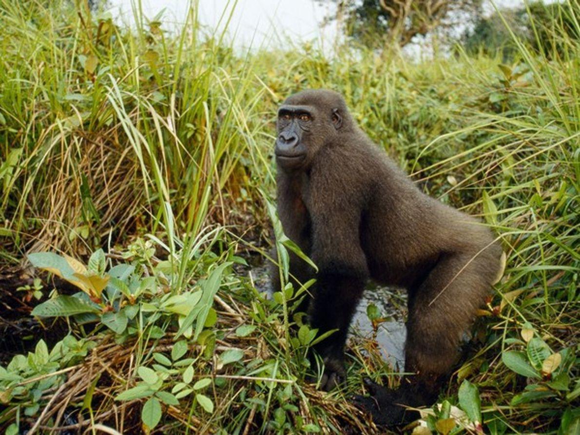 Kabo, un gorila occidental de llanura