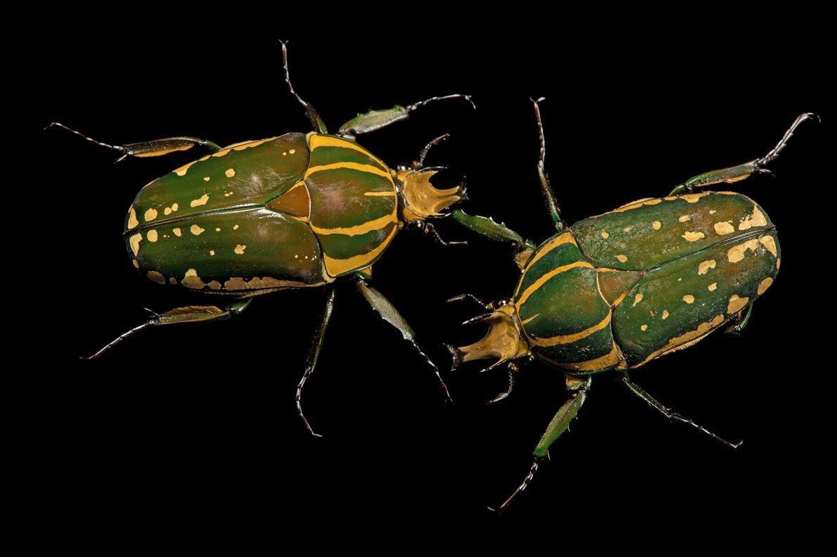 Escarabajo Mecynorrhina polyphemus confluens
