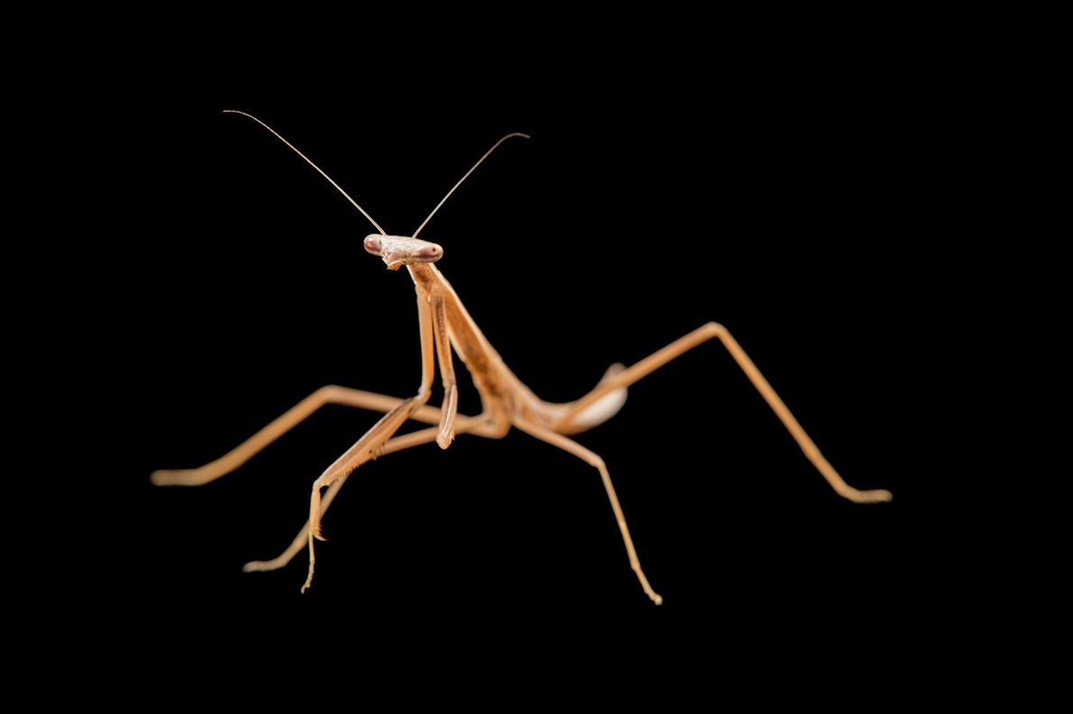 Mantis Mesopteryx alata