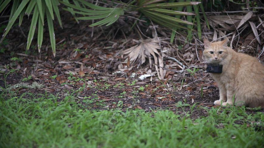 Cámara gatuna revela qué presas cazan los gatos callejeros
