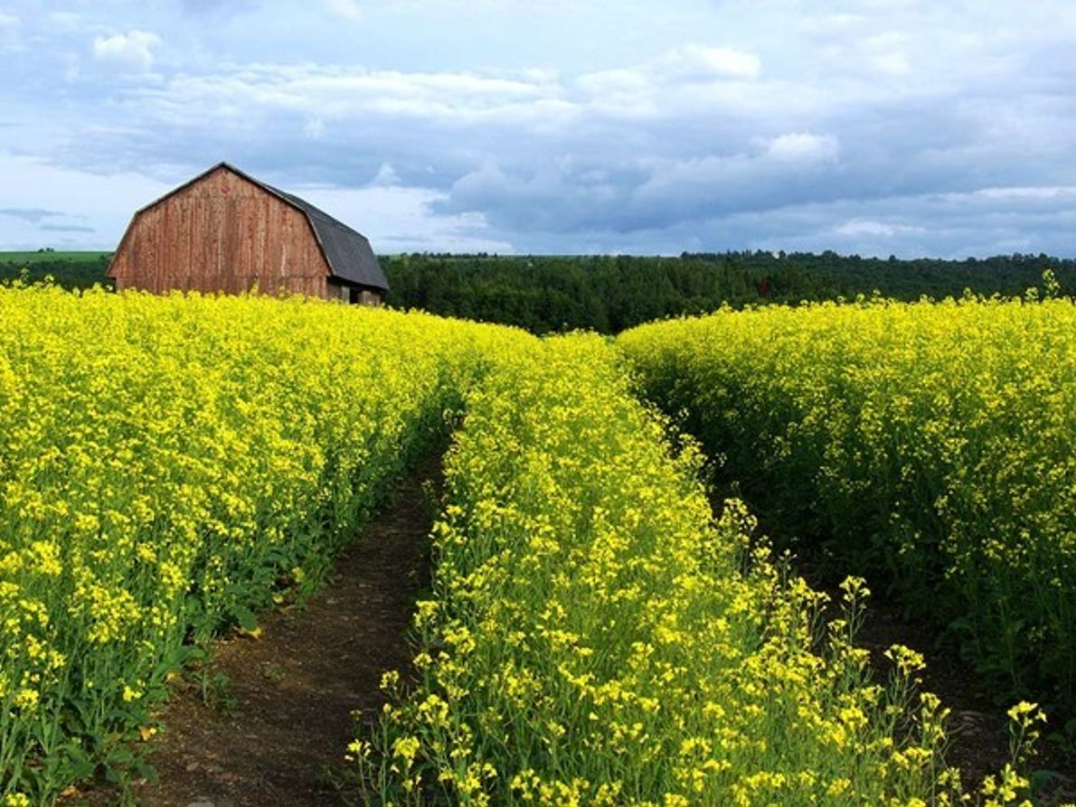 Flores de colza, valle de San Lorenzo
