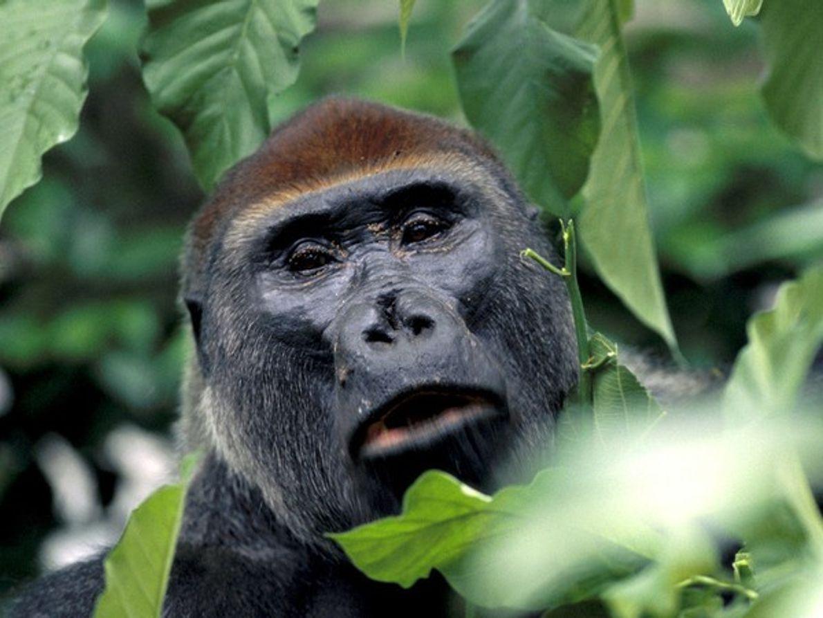 Gorila occidental de llanura mirando a cámara