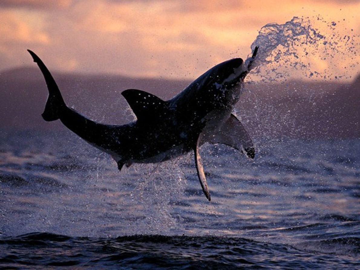 Tiburón blanco cazando