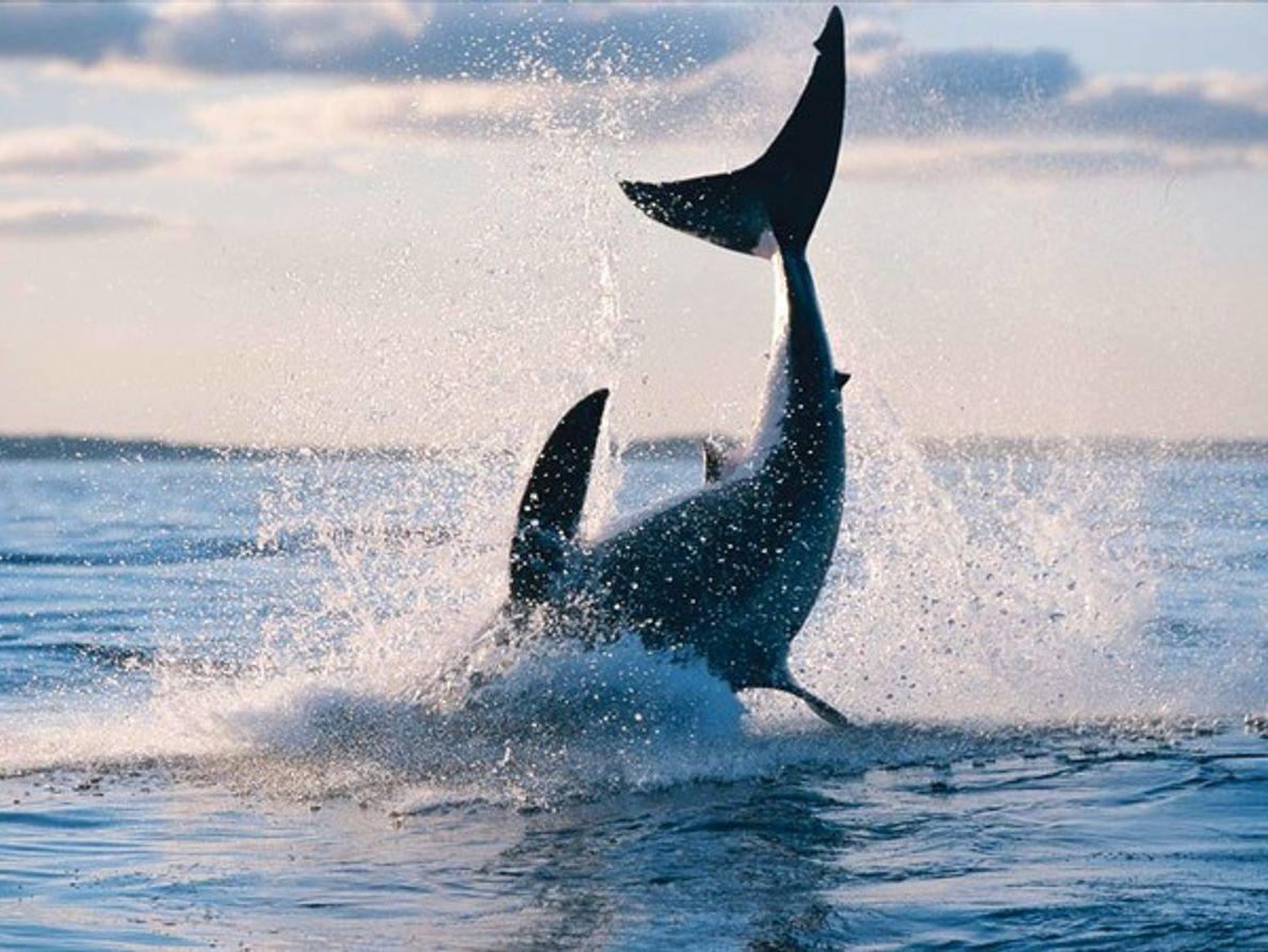 Gran tiburón blanco cazando