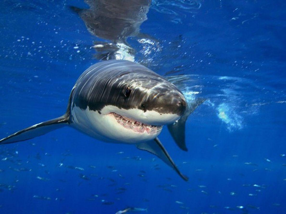 Tiburon blanco cazando