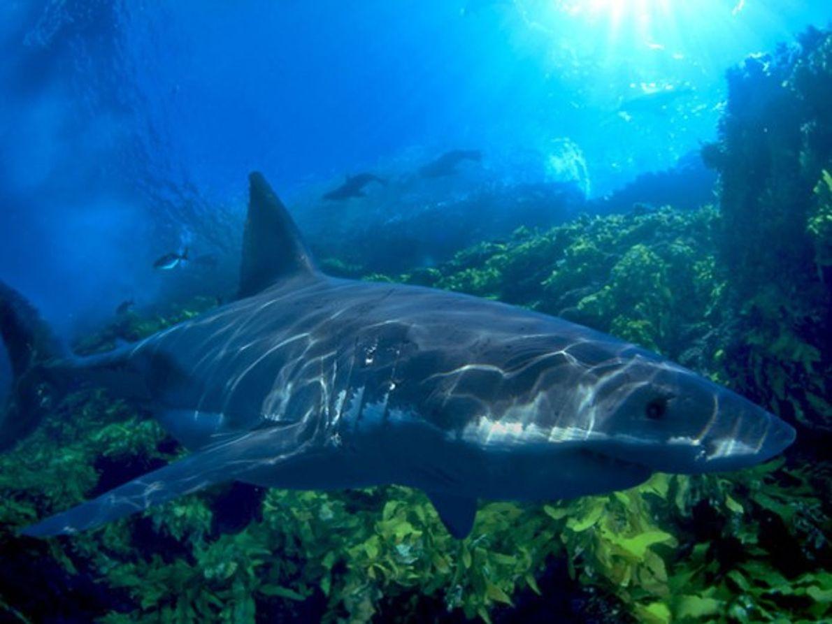 Gran tiburón blanco en Nueva Zelanda