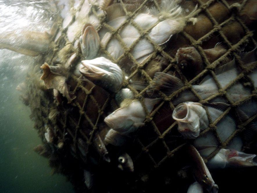 Bacalaos y otros peces comerciales capturados en una red en el golfo de Maine. Nuestro apetito ...