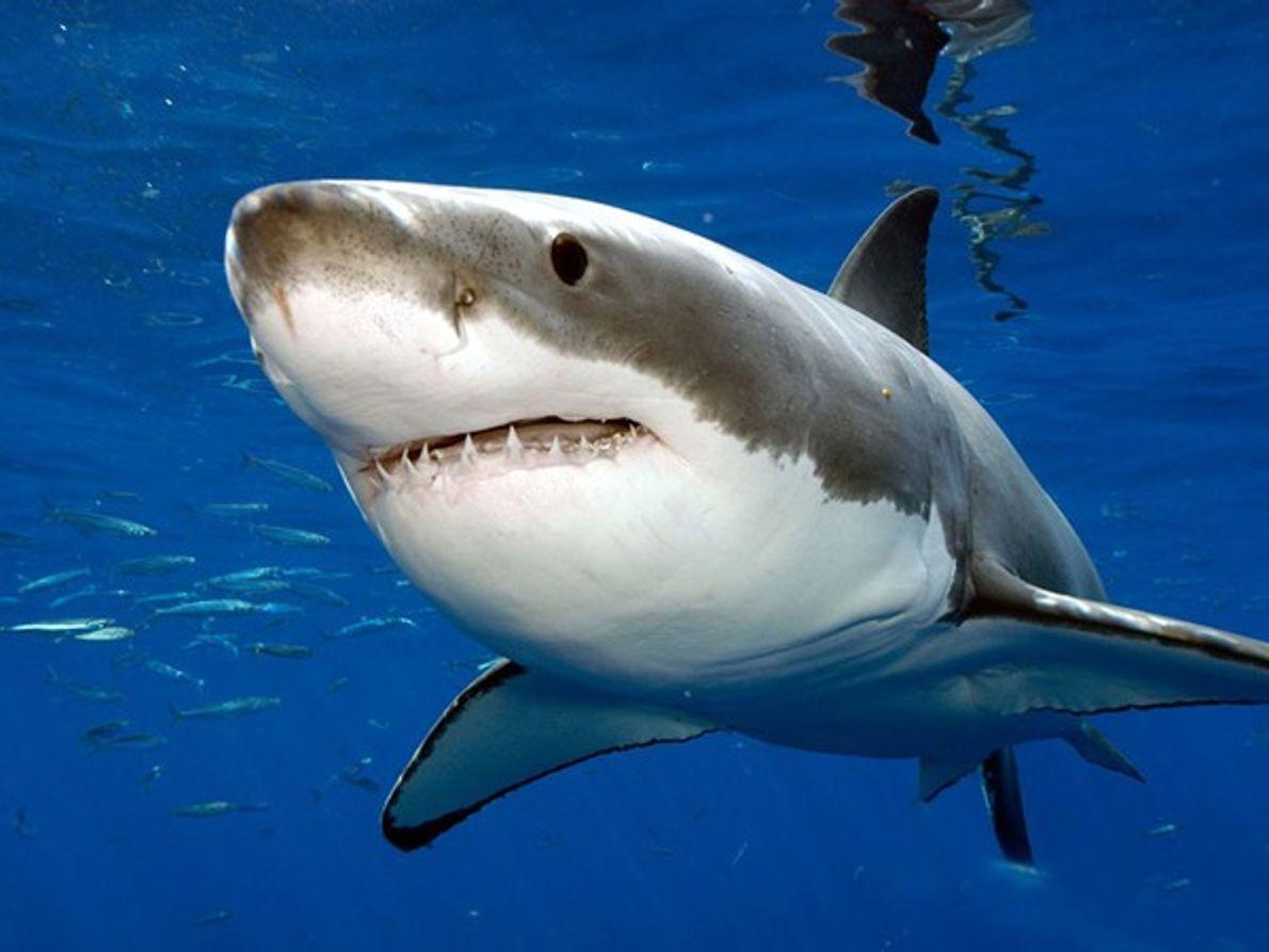 Gran tiburón blanco de cerca