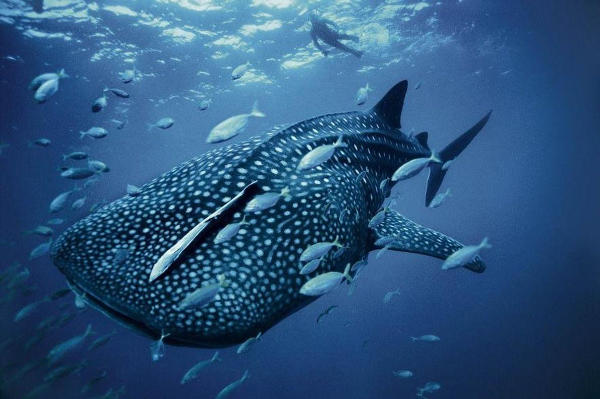 Buceador y tiburón ballena