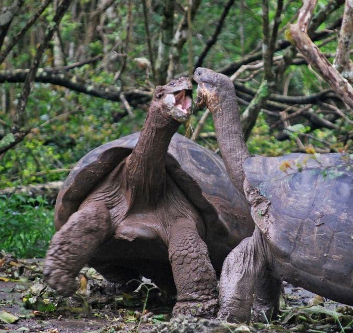 Tortugas de las Galápagos