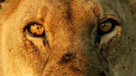 Primer plano de un león