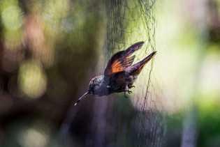 Un colibrí berilo
