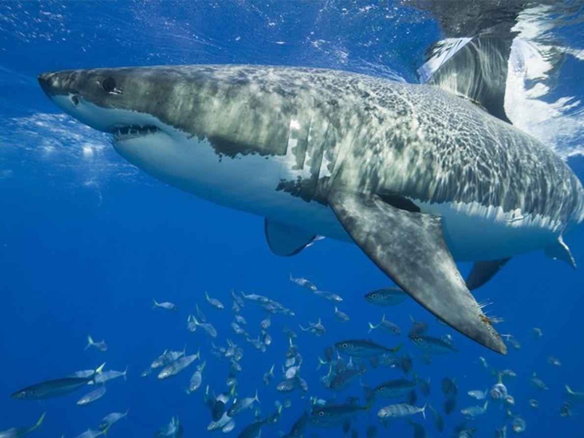 Gran tiburón blanco sobre un banco de peces