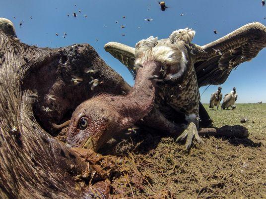Este fotógrafo documenta la vida de los buitres, los «antihéroes» del ecosistema