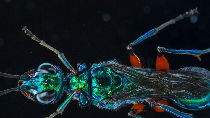 Esta avispa convierte a sus presas en zombis