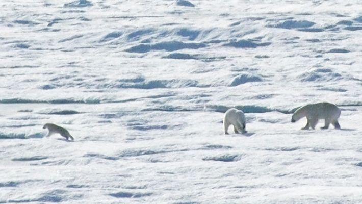 Imágenes exclusivas de un oso polar macho persiguiendo y devorando a una cría de su propia ...
