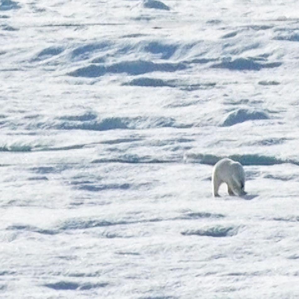 VÍDEO: Por qué este oso polar persigue y devora a un cachorro