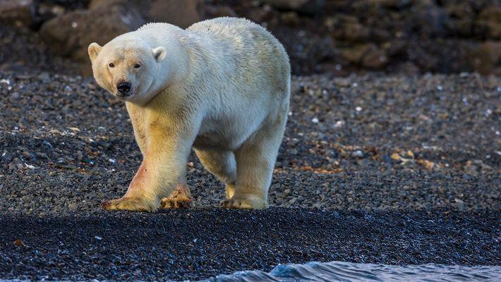 Oso polar persigue a unos fotógrafos de NatGeo