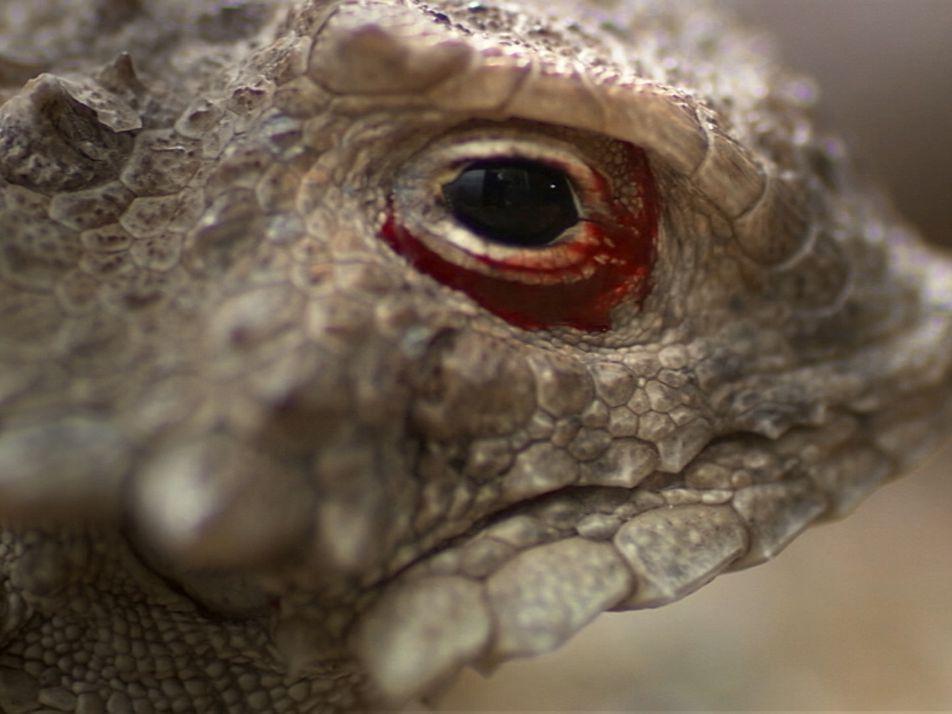 El lagarto cornudo expulsa sangre por los ojos