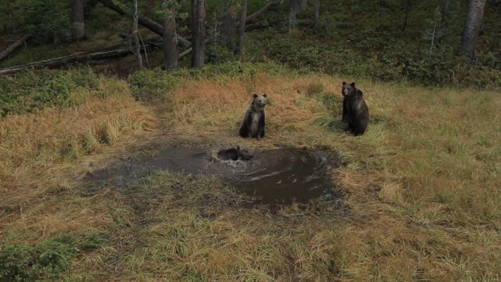 En exclusiva: imágenes del relajante baño de un oso en Yellowstone