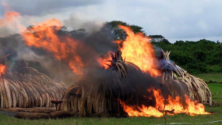 La mayor quema de marfil de la historia: se destruyen 105 toneladas