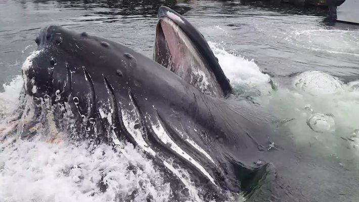 Aparición estelar de una ballena jorobada en un puerto costero