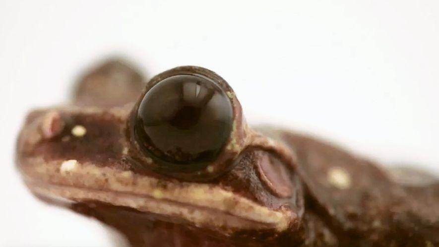 La muerte de la rana Toughie supuso el fin de su especie