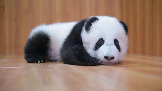 VÍDEO: ¡Cuidar a estos adorables pandas no es fácil!