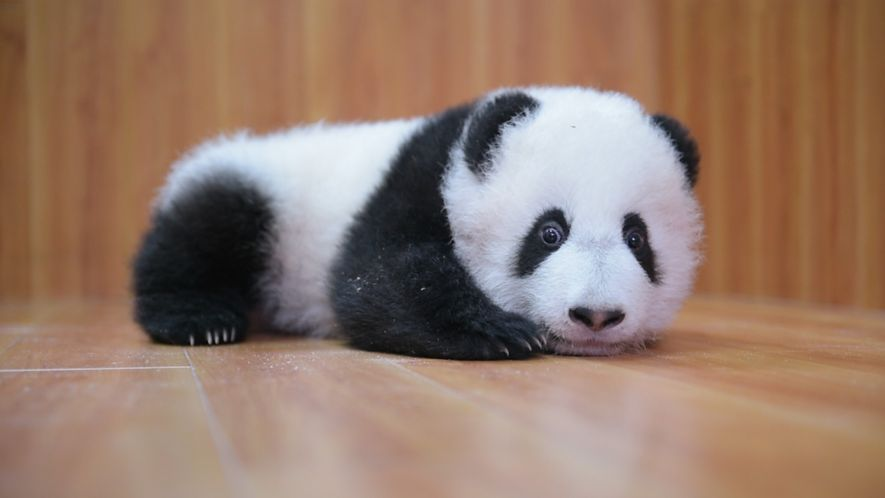 Criar preciosos pandas: Es un trabajo complicado