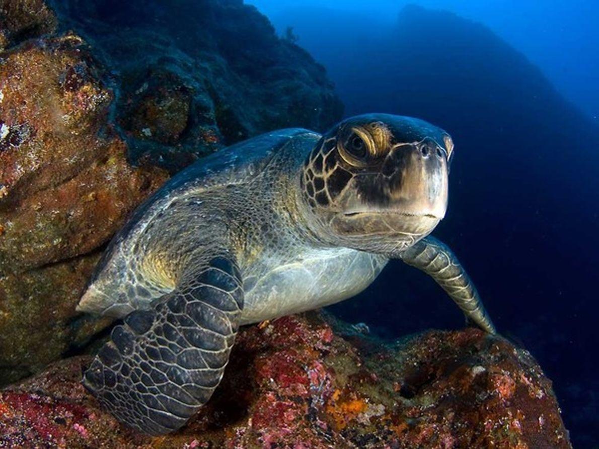 Tortuga marina, isla de los Cocos