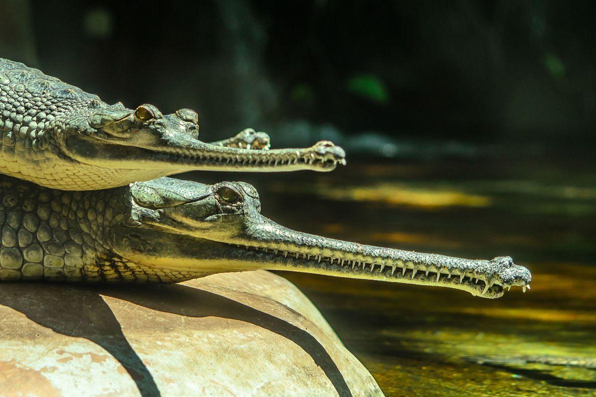 Aligátores