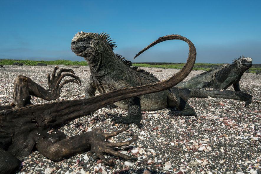 Dos iguanas marinas apenas parecen inmutarse por la presencia de uno de sus compañeros momificados, probablemente ...