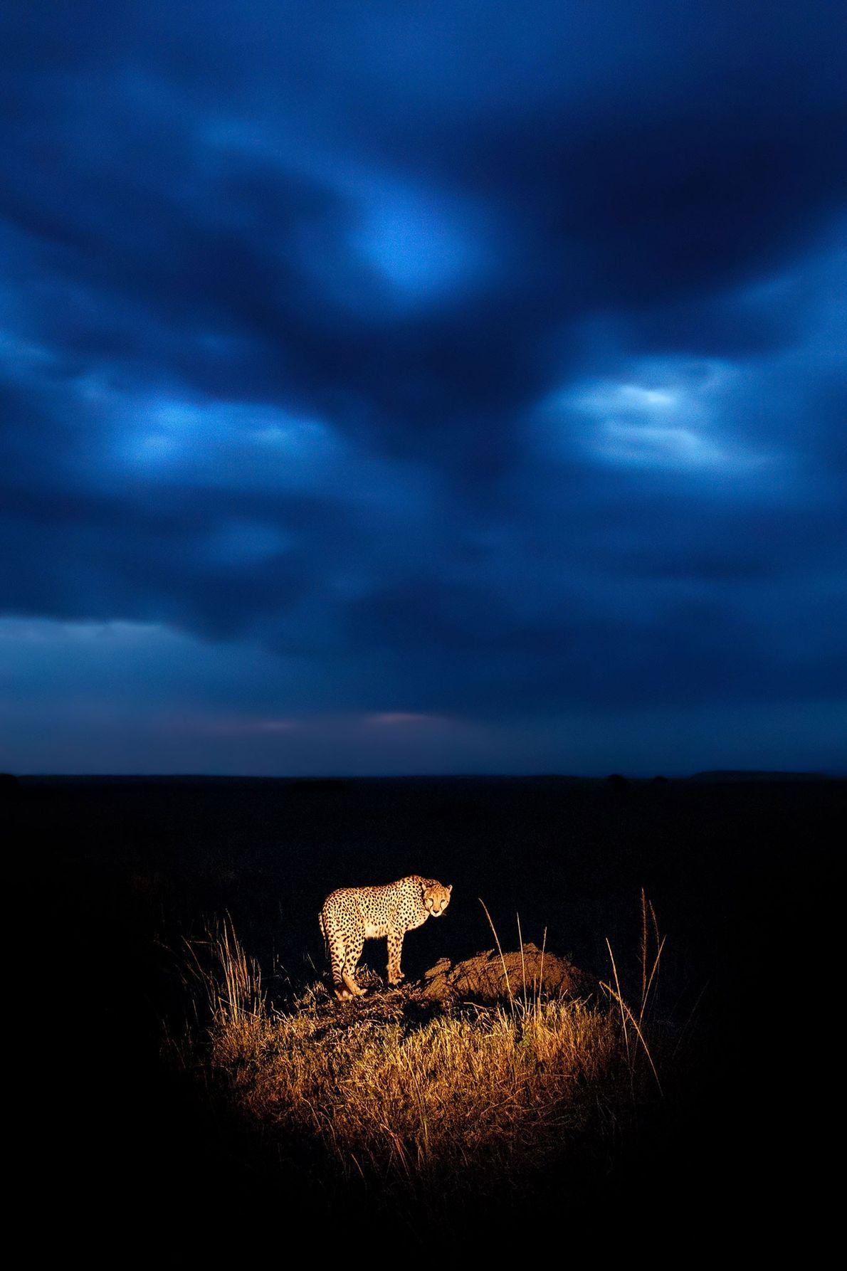 Guepardo por la noche
