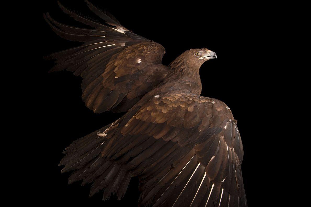 Un águila moteada