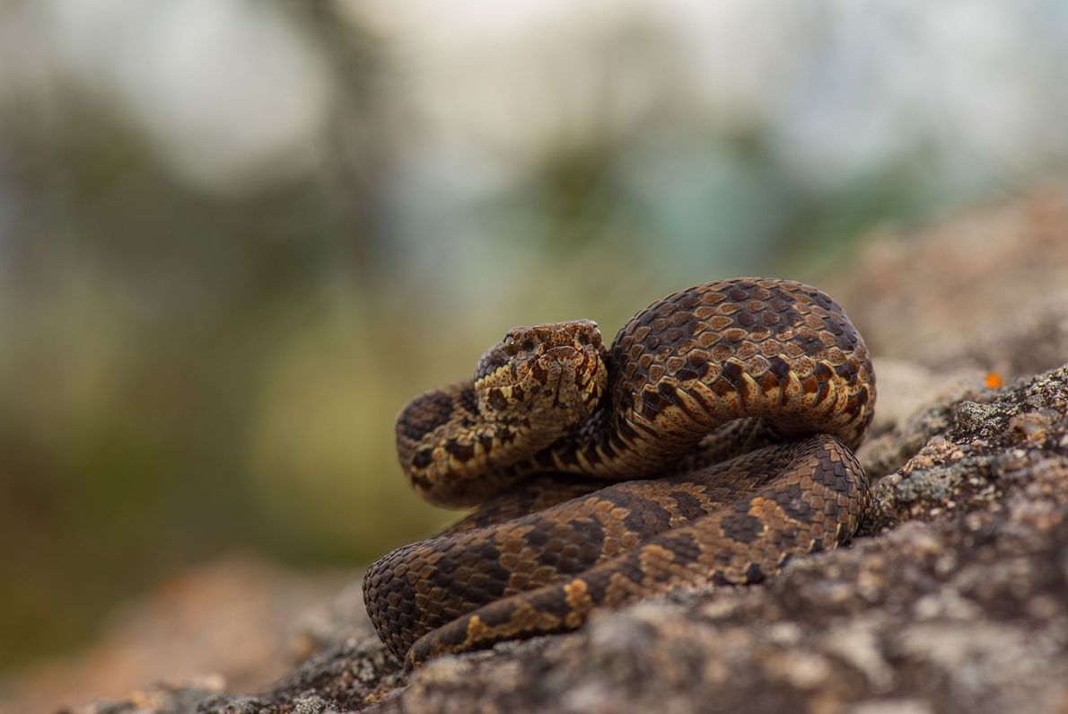 The horseshoe pit viper, Trimeresurus strigatus, is a venomous snake restricted mainly to one hilly region ...