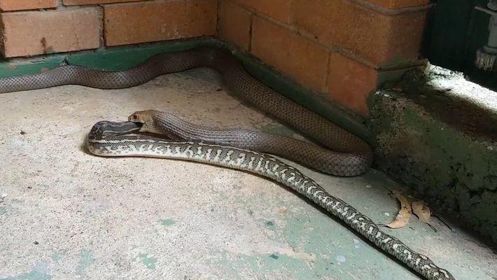 Cómo una serpiente supermortífera se traga otra serpiente entera