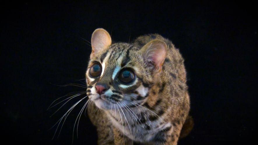 Joel Sartore retrata la belleza feroz de estos gatos salvajes