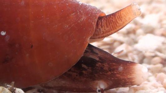 La respuesta a la crisis de opiáceos podría estar en el veneno de estos moluscos marinos