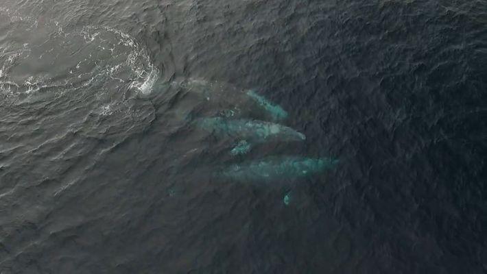 Las ballenas suelen aparearse en grupos de tres