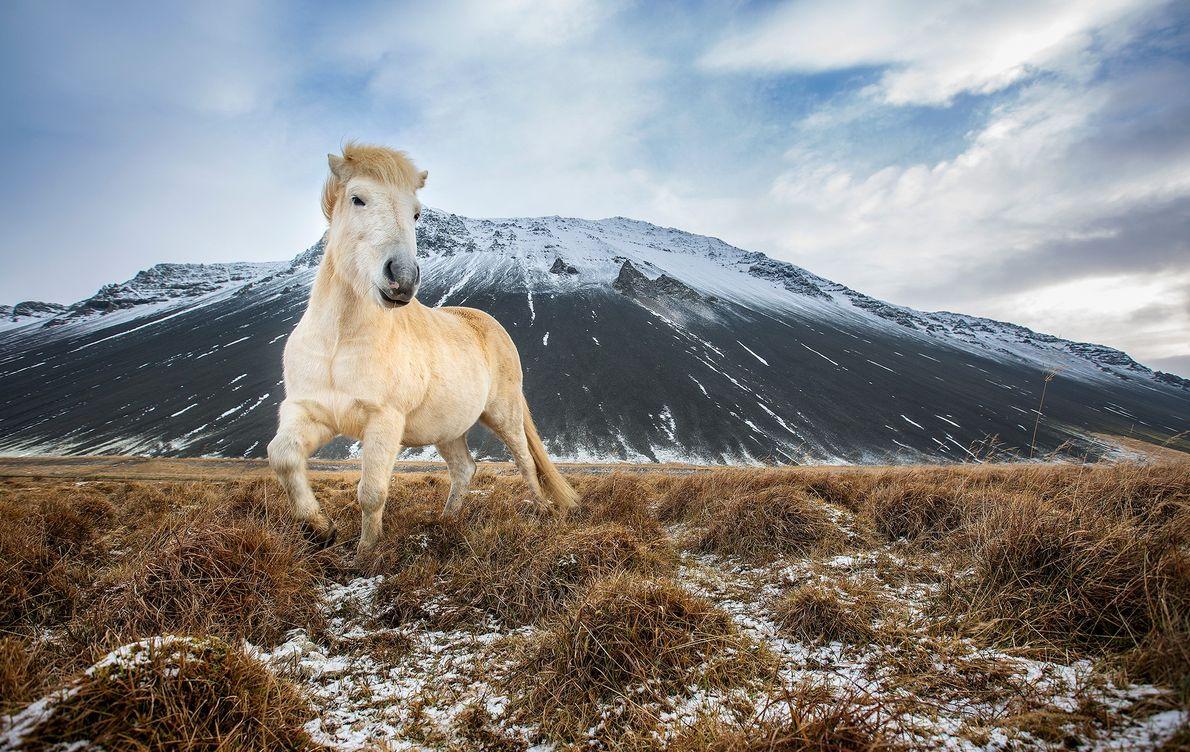 Imagen de un caballo en Islandia.