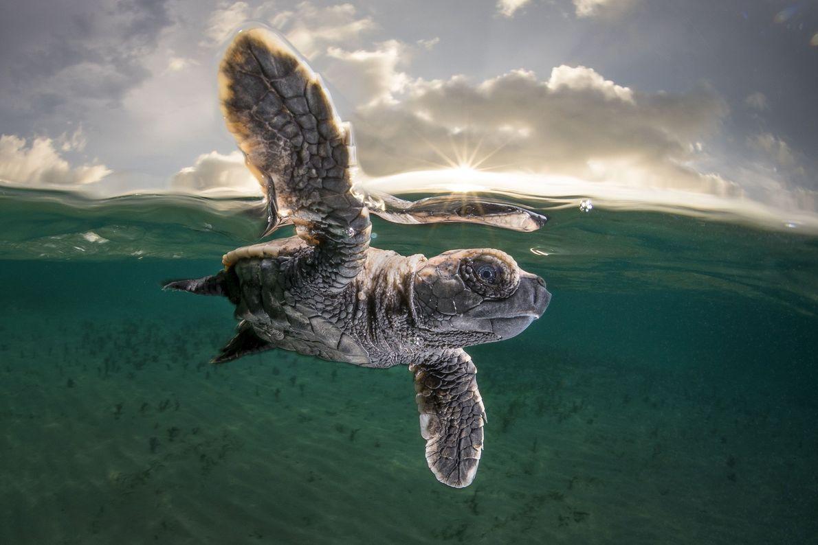 Imagen de una cría de tortuga carey en Papua New Guinea.