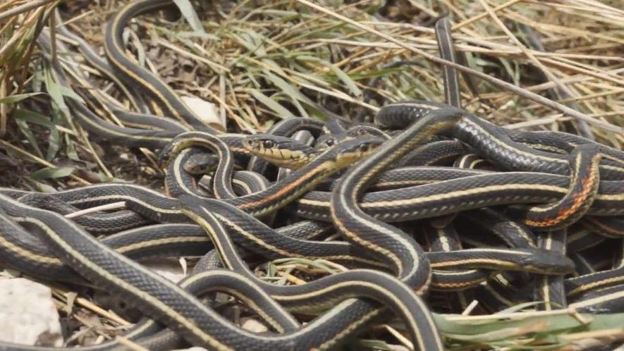 Las orgías de estas serpientes macho acortan sus vidas